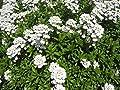 Schleifenblume, Iberis sempervirens 'Schneeflocke' im 9cm Topf von Bamberger Staudengarten bei Du und dein Garten