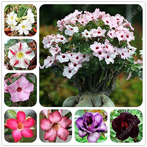 AGROBITS 2 Pezzi Desert Rose Seeds 12 Selettore Stile, Bonsai Adenium  Obesum Seed Balcone