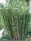 Horstbildender Bambus Pingwu (Fargesia robusta) - Winterharte Bambus-Pflanze ohne Ausläufer vom Testsieger Garten Schlüter