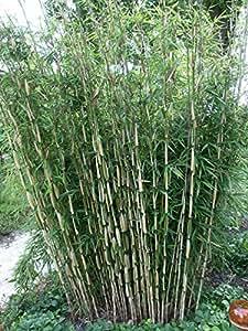 horstbildender bambus pingwu fargesia robusta winterharte bambus pflanze ohne ausl ufer. Black Bedroom Furniture Sets. Home Design Ideas