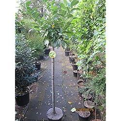 Prunus laurocerasus Kleopatra (R) - Kirschlorbeer Kleopatra (R)