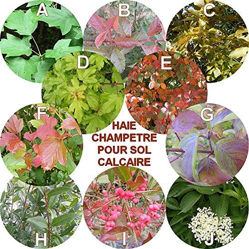 haie-champatre-pour-sol-calcaire-en-kit-de-10-arbustes-en-racines-nues