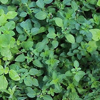 Kräuter Oregano Italienisch Origanum Vulgare 2500 Samen