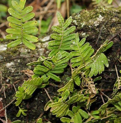 Polypodium thyssanolepis - Tüpfelfarn - 10 Samen