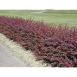 Heckenpflanzen Rote Hecken-Berberitze Wurzelware 40 - 60cm (10 Stück)