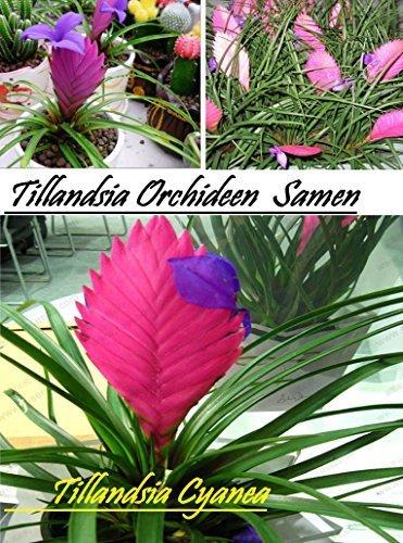 20x-tillandsia-orchideen-samen-blumen-blumensamen-saatgut-blume-zimmer-garten-frisch-seltene-pflanze