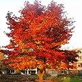 Amberbaum von Meingartenshop - Du und dein Garten