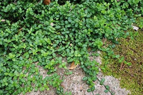 1-pianta-euonymus-fort-minimus-vaso-16cm-sempreverdi-e-rampicanti