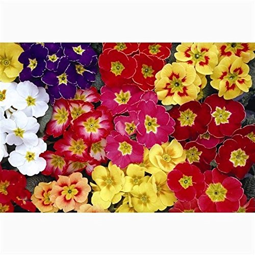 Primrose Boxed Bedding 12 x Mixed Colours (Live Plants)
