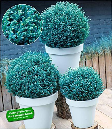 """BALDUR-Garten Scheinzypresse""""Blue Moon"""", 1 Pflanze Chamaecyparis pisifera winterhart Zwergzypresse"""