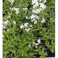 Pianta Di Solanum Jasminodes   Gelsomino In Vaso 7 Cm ( 20 Pz )