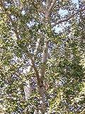 Portal Cool Populus Alba Alv 1 pioppo Bianco Pianta Pioppo Tagli Bianco Pioppo