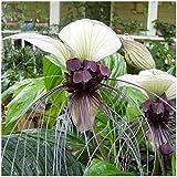 PLAT FIRM GERMINATIONSAMEN: Bat Blume Verwurzelt Pflanze 10 Samen 'White Flower Bat Pflanze' Fledermausblume