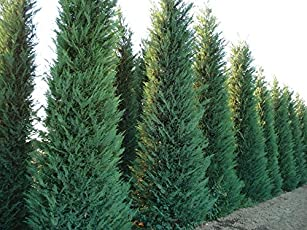 Creative Farmer Himalayan Cypress Elegant and Evergreen Tree Seeds (Pack of 100 Seeds)