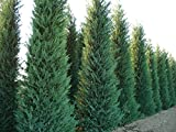 Himalayan Cypress - Elegant, Evergreen Tree Seeds - 100 Seeds for Growing by Creative Farmer best price on Amazon @ Rs. 99
