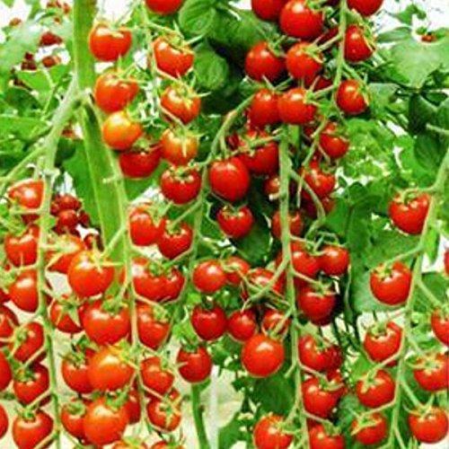 Eine Packung 100 Samen Bonsai Tomatensamen Mini Kirschtopf Süße Frucht-Gemüse Bio-Frische