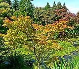 Roter Fächerahorn 'Ariadne' Acer palmatum 'Ariadne' Topf gewachsen Zierahorn vom Gärtnermeister