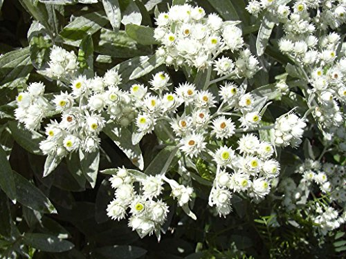 Silber Immortelle Perlkörbchen Anaphalis margaritacea 500 Samen