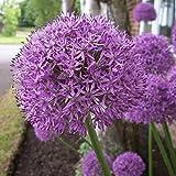 """5x Allium """"Gladiator"""" Mehrjähriger Zierlauch mit Lila Blüten"""