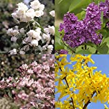 Blütensträucher-Sortiment I, bestehend aus: Goldglöckchen (Forsythia gelb), Falscher Jasmin (Philadelphus Schneesturm), Flieder (Syringa vulgaris), Maiblumenstrauch (Deutzia hybrid) rosa, gesamt 4 Pflanzen