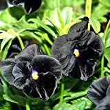 PANSY - CLEAR CRYSTAL BLACK - VIOLA WITTROCKIANA - 300 SEEDS