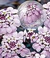 BALDUR-Garten Winterharter Bodendecker Iberis Schleifenblume 'Pink Ice®', 2 Pflanzen von Baldur-Garten bei Du und dein Garten