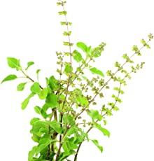 BSD Organics Purify Tulsi fresh leaves for tea, smoothie & more - 50 gms