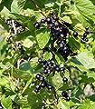 Dehner Johannisbeere 'Titania' von Dehner auf Du und dein Garten