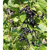 5 Stück Schwarze Johannisbeere /'Ben Sarek/' Beerenobst,im Cont 40-60cm Ribes