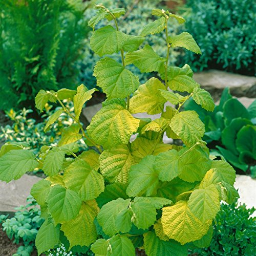haselnuss-hallesche-riesen-nuss-busch-1-pflanze