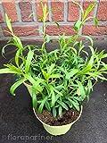 Französischer Estragon Artemisia dracunculus Kräuter Pflanze 1stk