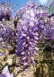 TROPICA - Japanischer Blauregen ( Wisteria floribunda ) - 4 Samen