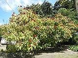 Asklepios-seeds® - 20 Semillas de Bixa orellana achiote, onoto, urucú, bija, benis, acotillos