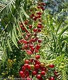 Schinus Molle California albero del pepe semi sempreverdi con rosa brillante Frutta