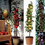 Dominik Blumen und Pflanzen, 4er Set Säulenobst, Obstbäume: Nashi, Apfel