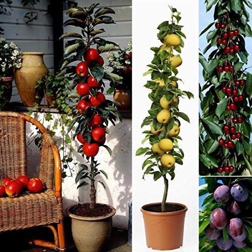 Imperials Obst (Dominik Blumen und Pflanzen, 4er Set Säulenobst, Nashi Hakko, Apfel McIntosh, Kirsche Viktoria, Pflaume Imperial)