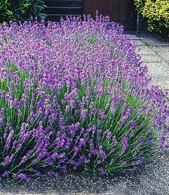 BALDUR-Garten Winterharte Stauden Lavendel-Hecke 'Blau', 9 Pflanzen Lavandula angustifolia Munstead von Baldur-Garten bei Du und dein Garten