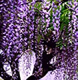 Wisteria Wisteria Vine saplings seed ups...