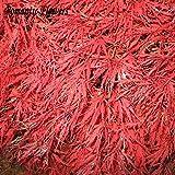 50Partikeln/Tasche Home Garden Pflanze Baum Samen Acer palmatum Schlitzahorn Crimson Queen Samen Japanisch Rot Ahorn Samen