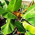 Future Exotics Musa Dajiao Banane Fruchtbanane winterhart von Future Exotics bei Du und dein Garten