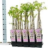 Blumen-Senf Chinesischer Blauregen Wisteria floribunda Rosea 35-40 cm / Topf Ø 9 cm / wunderschöne Kletterplanze