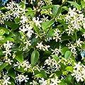 Trachelospermum Hardy Jasmine Climber Plant