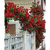Vamsha Nature Care Rare Climbing Plant Dark Perinnial Rose -1pc
