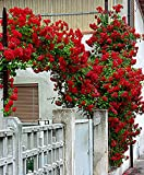 #10: Rare Red Climbing Rose Plant Dark Red Color Perinnial Rose 1 Live Plant