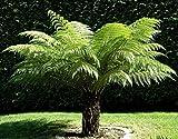 Dicksonia antarctica ca. 140 cm. Gesamthöhe Stammhöhe ca. 40 cm