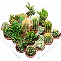 Cactus Mix - 20 Plants - House / Office Live Indoor Pot Plant - Ideal Gift