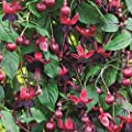 Fuchsie Lady in Black von Meingartenshop bei Du und dein Garten