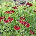 lichtnelke - Sonnenbraut (Helenium) INDIANERSOMMER von Lichtnelke Pflanzenversand bei Du und dein Garten