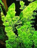 Kleine Ambulia - Blütenstielloser Sumpffreund/Limnophila sessiliflora