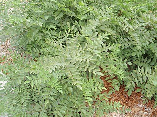 CUSHY 15 Samen Süßholzpflanze (Glycyrrhiza Glabra)